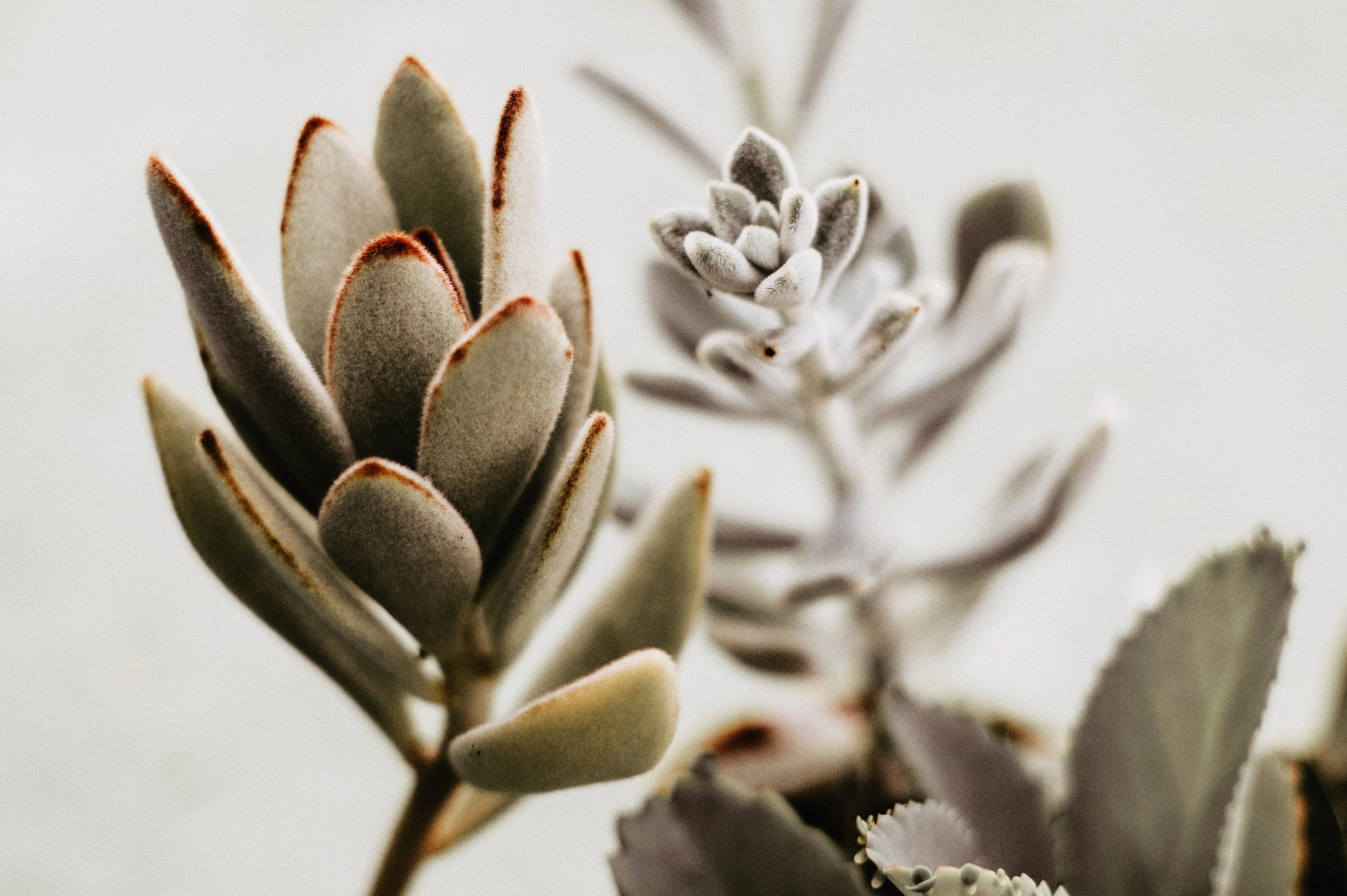 succulent-with-red-spots