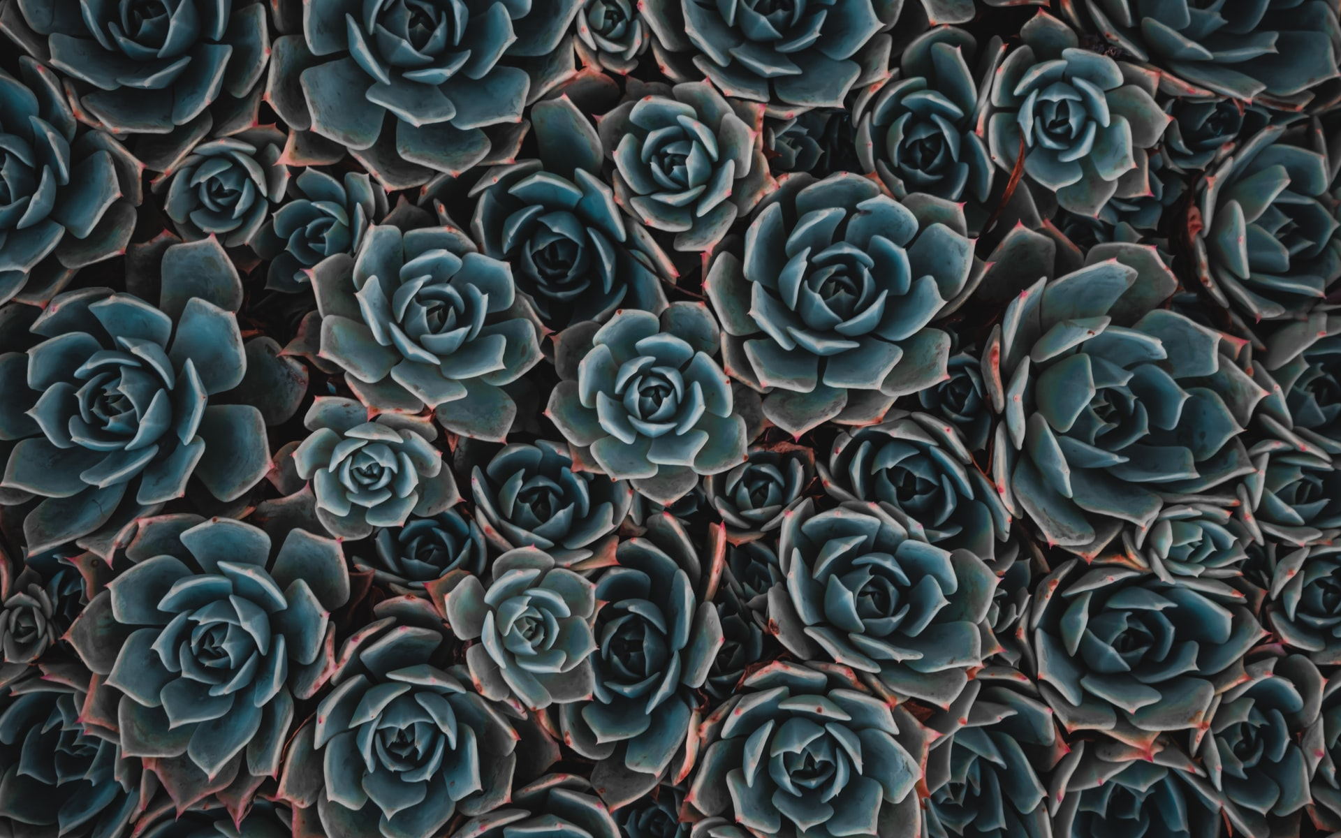 succulent-turning-brown