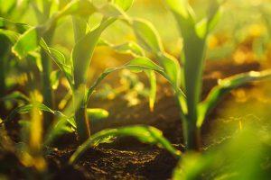 corn plant in the field