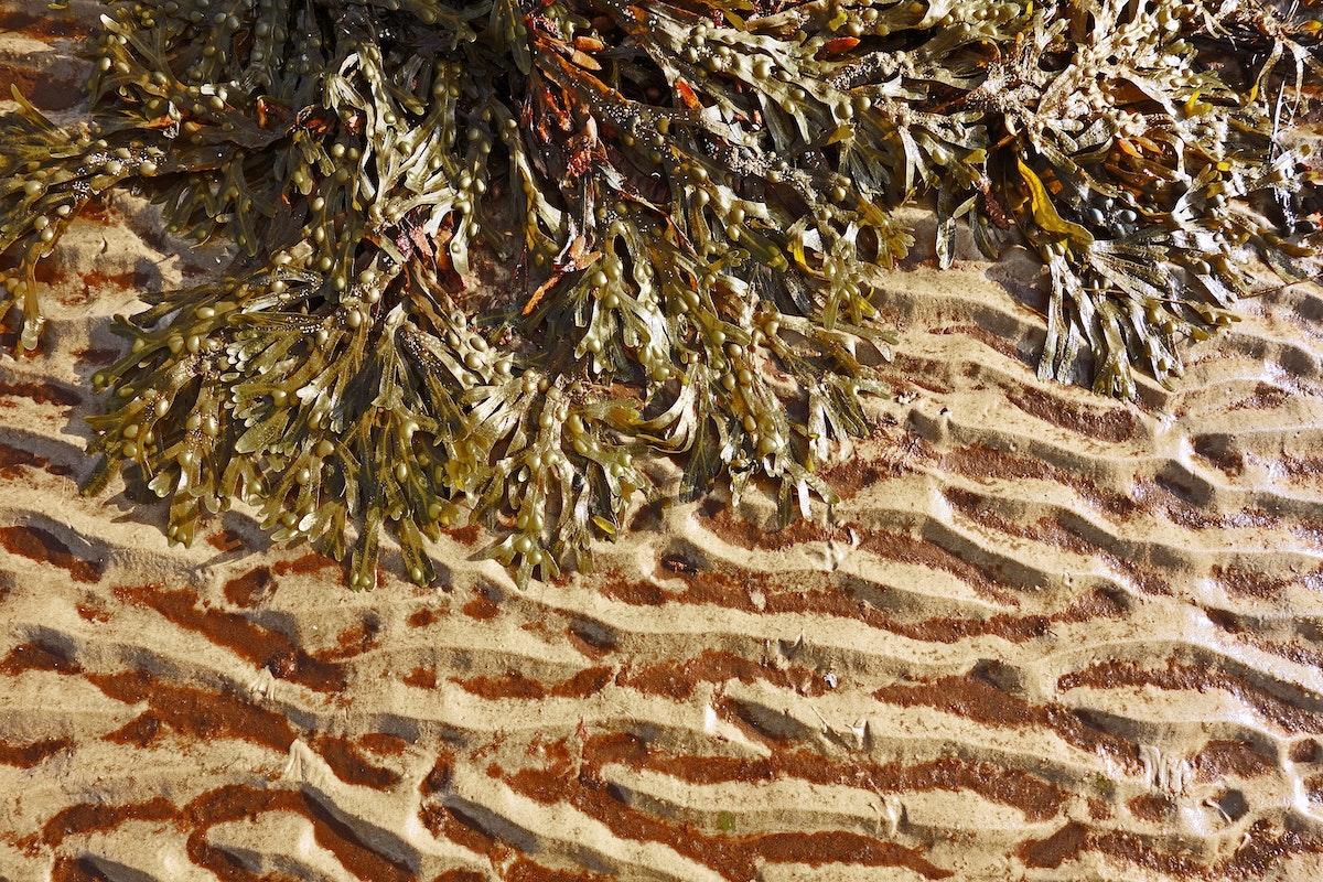 dried seaweed by the beach
