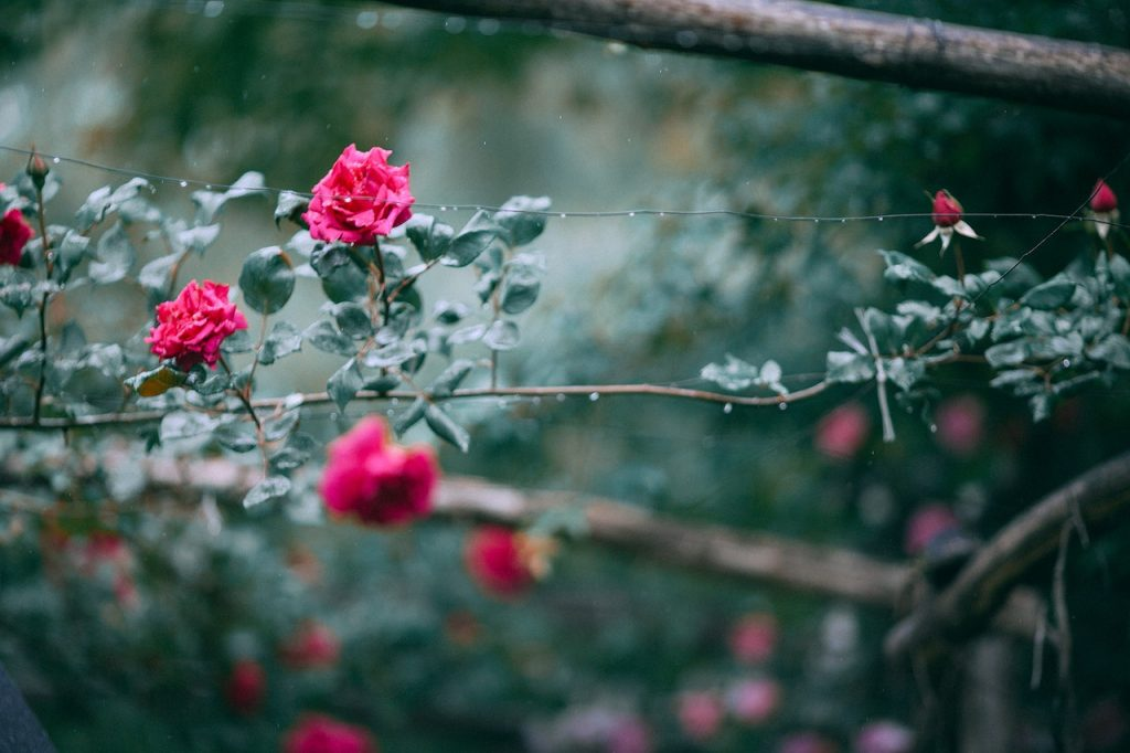 tiny red roses growing on a stem