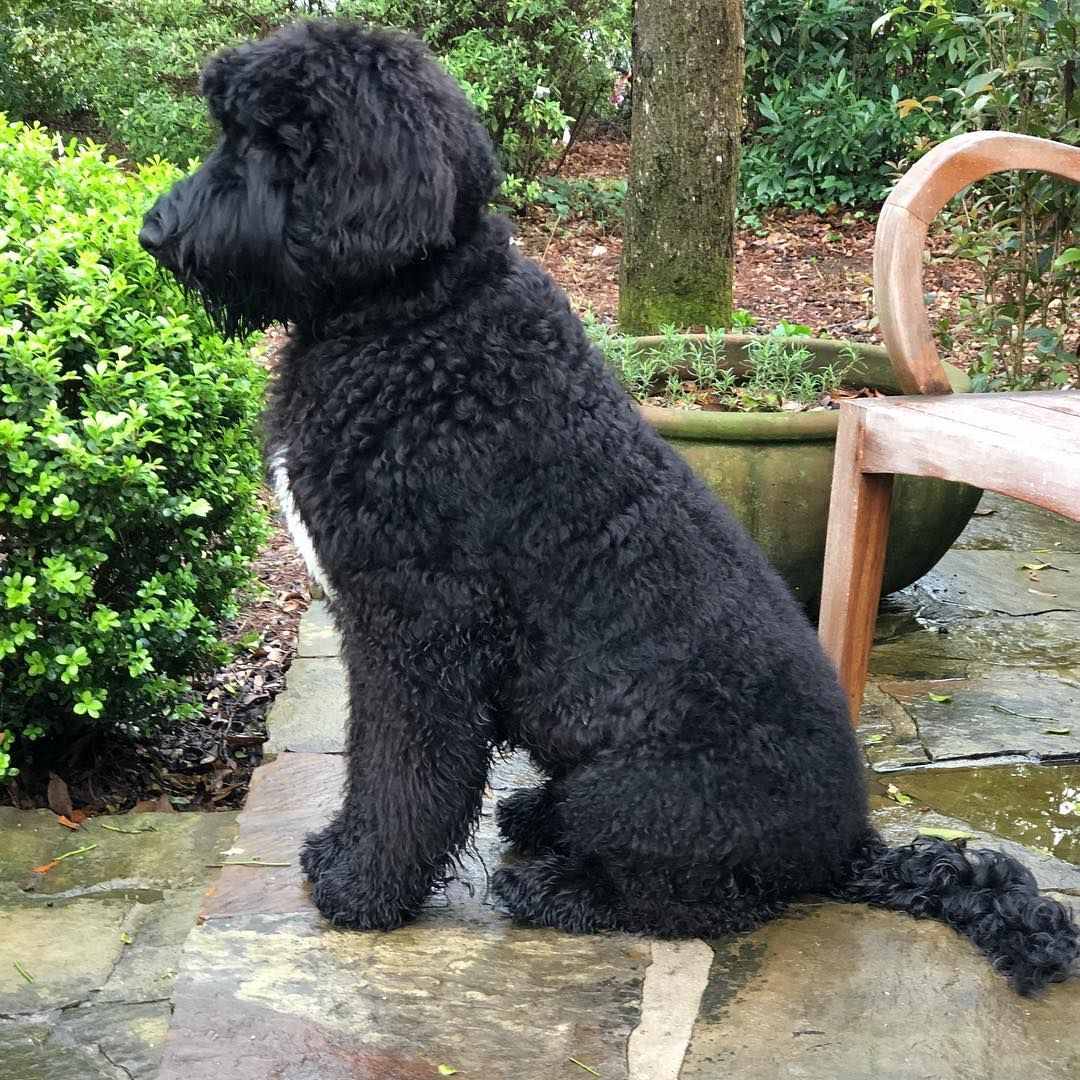 Giant Schnoodle